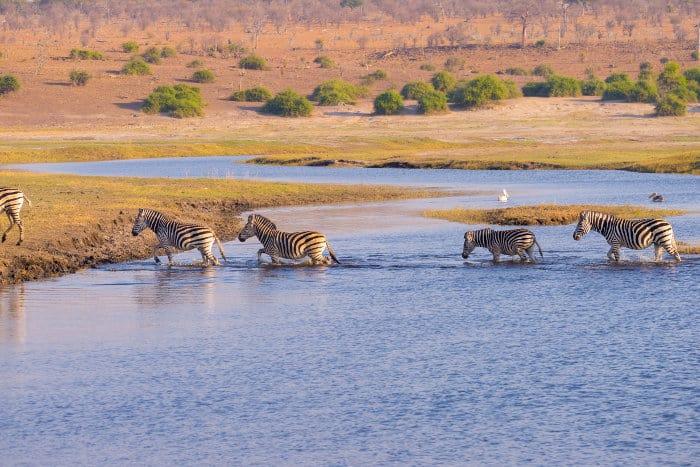 Zebra cross the Chobe river at sunset