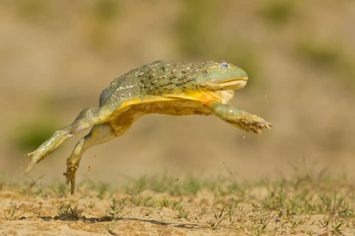 African bullfrog leaping into the air