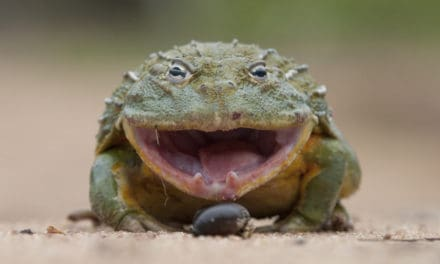 The African Bullfrog: more bull than frog?
