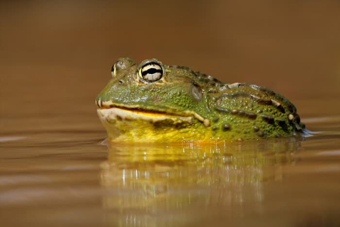 Male African bullfrog in shallow pool of water