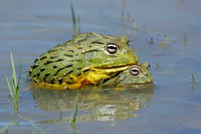 A pair of African bullfrogs mating