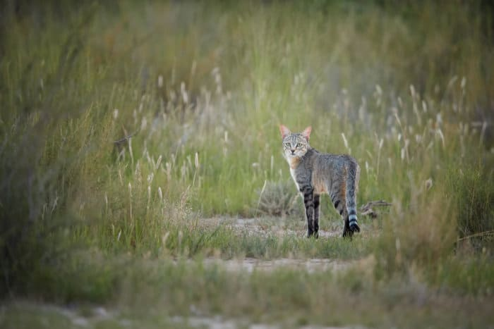 African wildcat in the Kalahari, during the rainy season