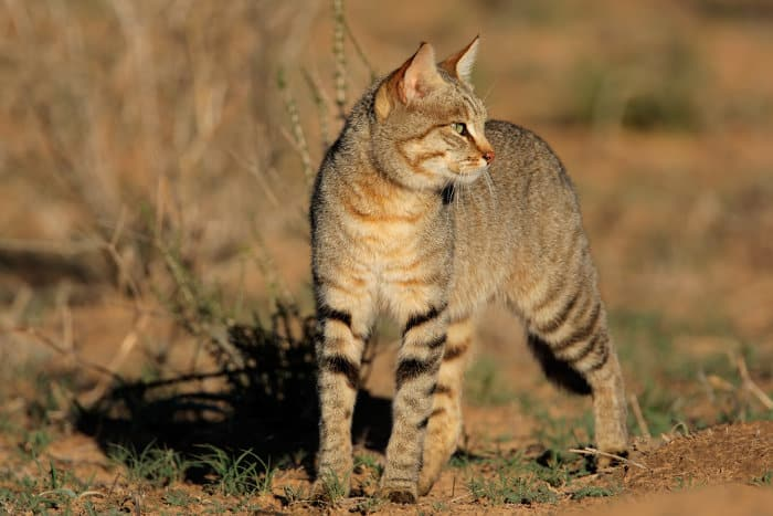 An African wildcat photographed in South Africa