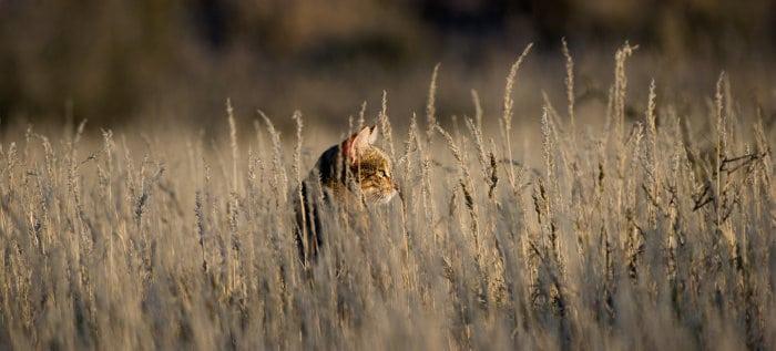 African wildcat in tall grass, Kgalagadi Transfrontier Park