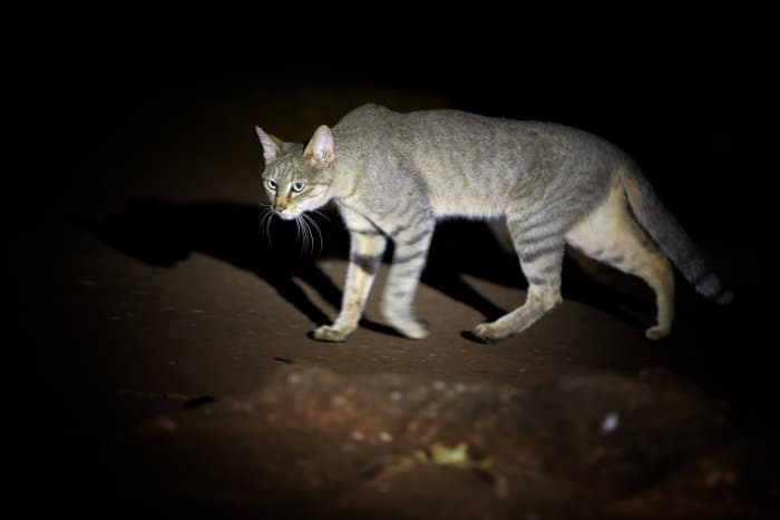 African wildcat hunting after dark in Kruger National Park