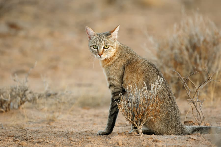 African wildcat – Myth and truth