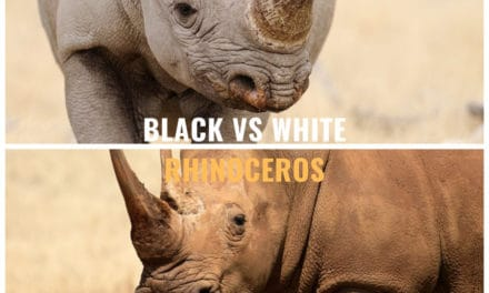Black Rhino vs White Rhino – The story and charms of the African rhino