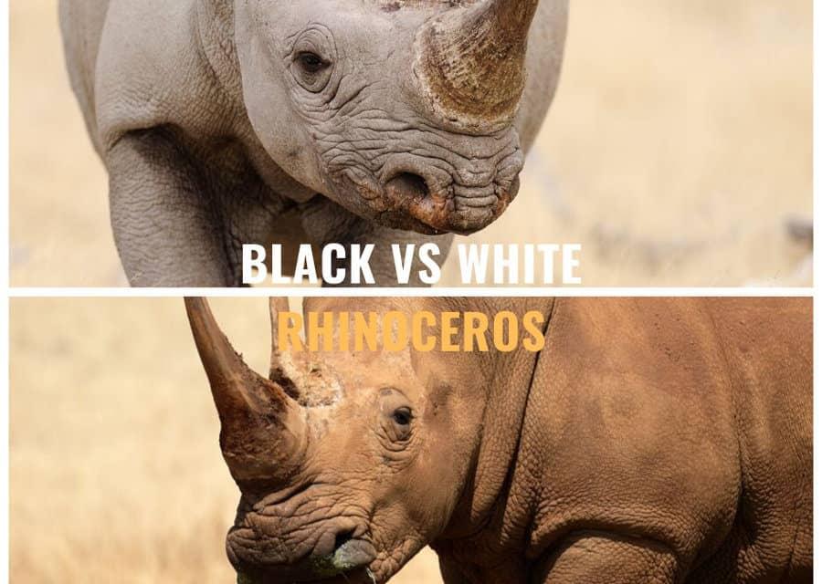Black rhino vs white rhino – The story and charms of the African rhino