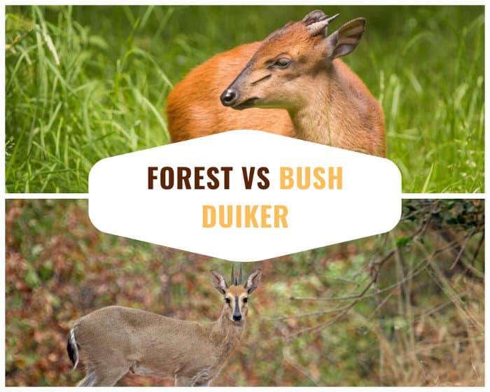 Red forest duiker vs bush (or common) duiker
