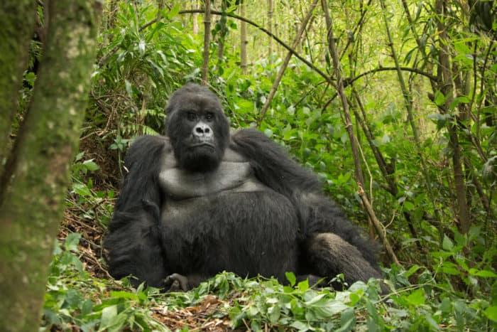 Guhonda silverback, from the Sabyinyo mountain gorilla group