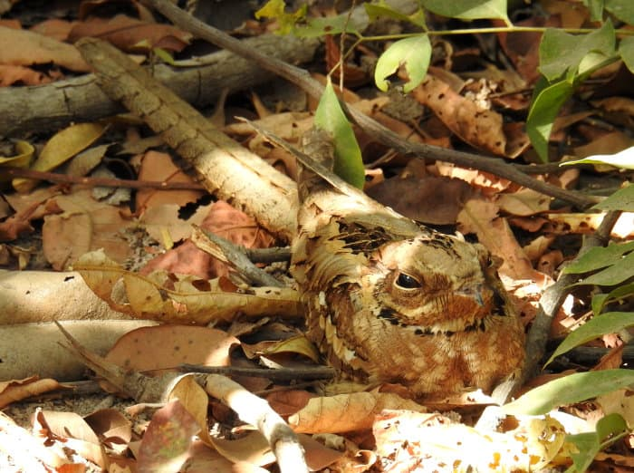 The long-tailed nightjar is one of the rarer bird species of The Gambia (pictured here in Brufut Woods)