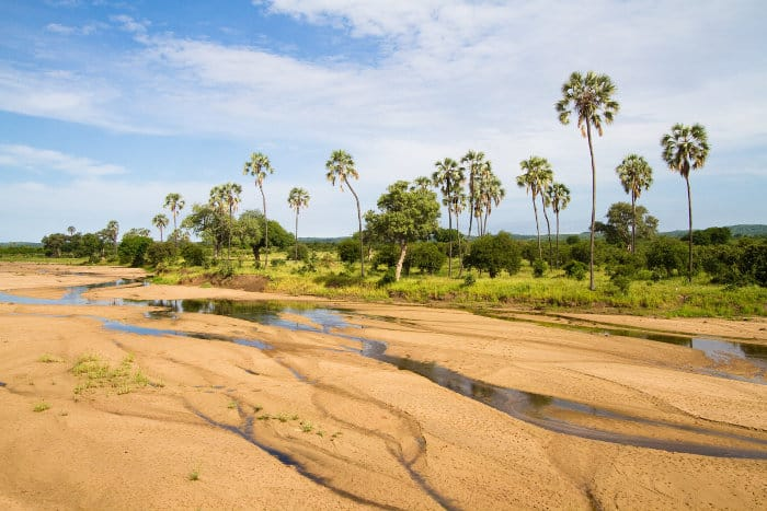 Riverbed dotted with palm trees in Ruaha National Park
