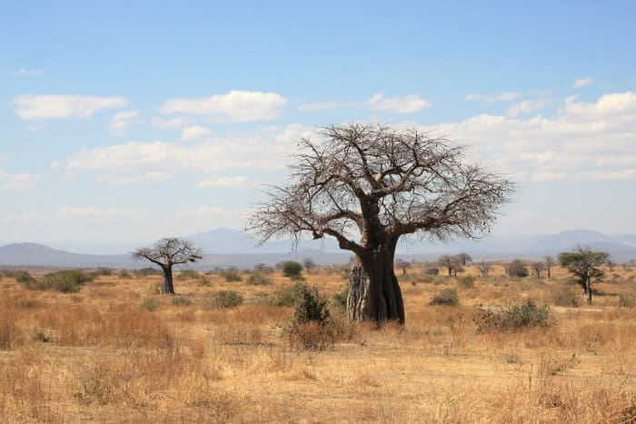 Beautiful African landscape in Ruaha National Park, dotted with Baobab trees