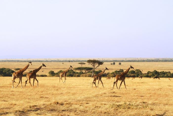Giraffe, impala and wildebeest in the Masai Mara
