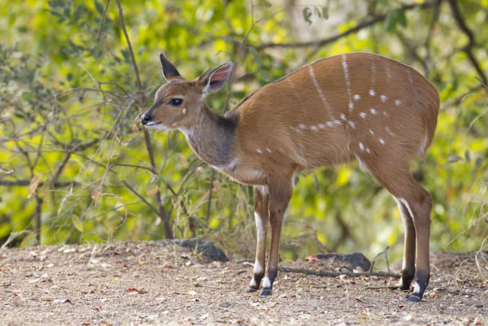 Cute baby bushbuck poses for the camera