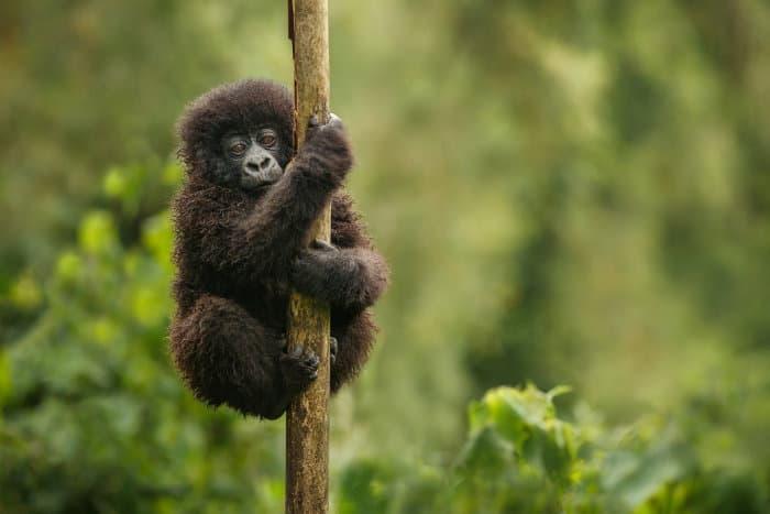 Baby mountain gorilla holding firmly onto a branch