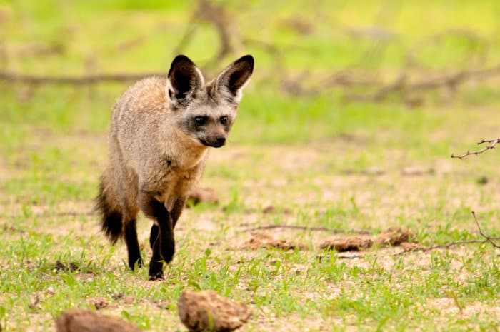 Bat-eared fox looking for food in Ruaha