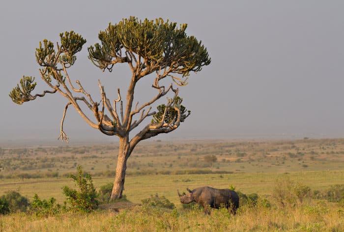 Black rhino under euphorbia tree in the Masai Mara