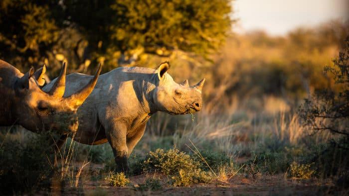 Black rhinos feeding at sunset