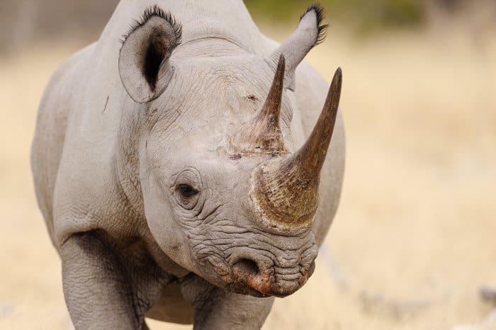 Black rhinoceros head portrait, Etosha National Park
