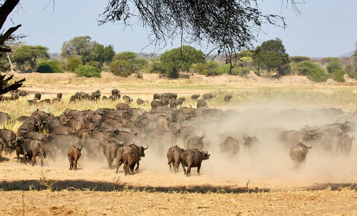 Large buffalo herd on the move, lifting a huge cloud of dust (Ruaha National Park)
