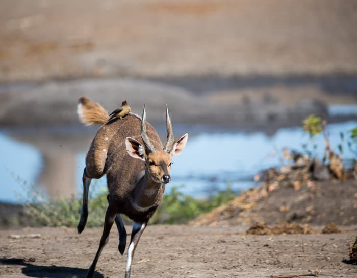 Male bushbuck running away, with red-billed oxpecker riding on its back