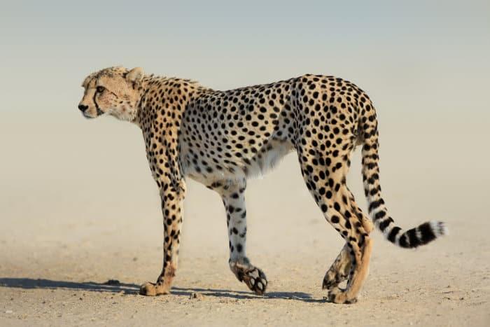 Cheetah in dusty Kgalagadi