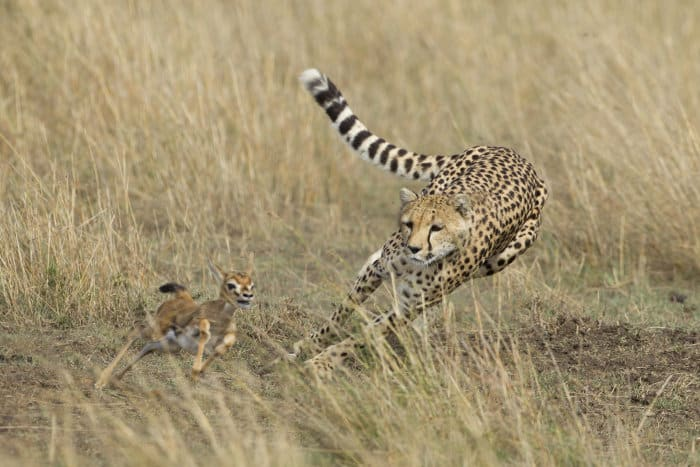 This cheetah uses its tail as a rudder to keep up with a baby Thomson's gazelle