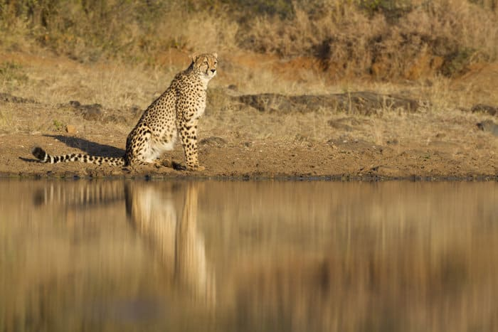 Cheetah reflection in water