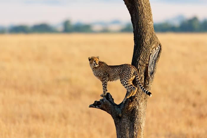 Cheetahs have non-retractable claws, which makes it more difficult to climb obstacles such as trees
