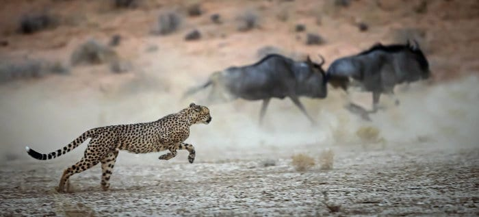 Cheetah going after wildebeest in the Kgalagadi