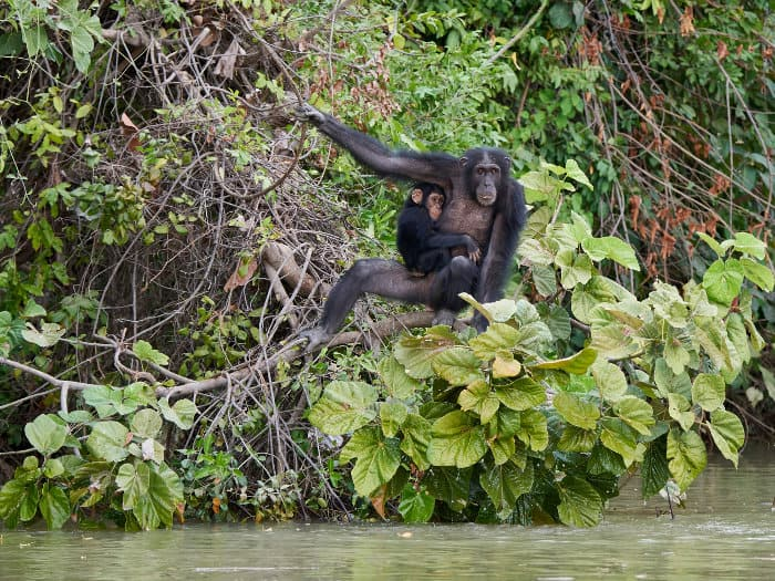 Mom and baby chimpanzee in their natural habitat, Baboon Islands, The Gambia