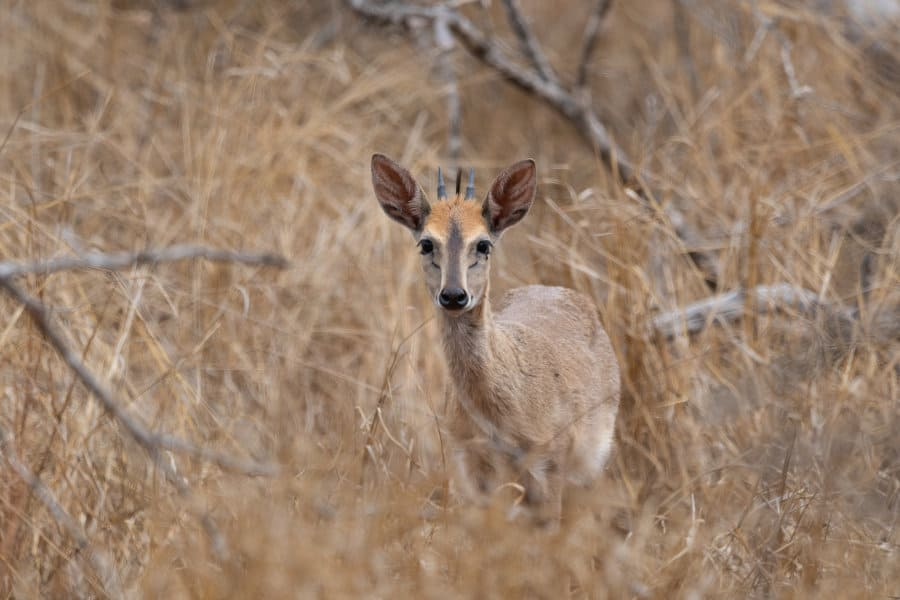 Ducking and diving – The duiker's daunting day-to-day