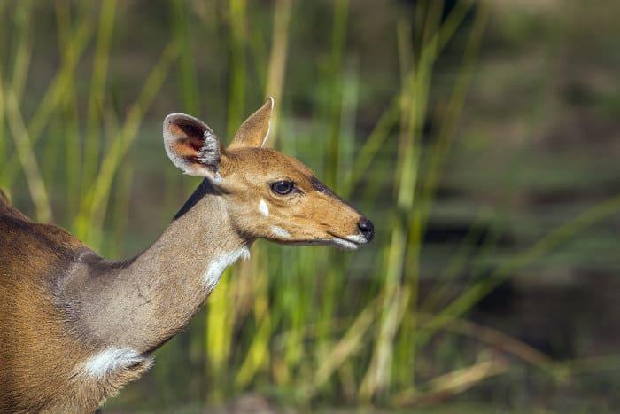 Female bushbuck portrait in Kruger National Park