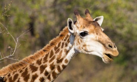 17 fun facts about giraffes