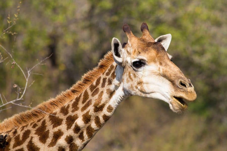 17 fun facts about giraffes