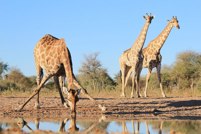 Giraffe are most vulnerable to predators - especially lions - when they need to drink