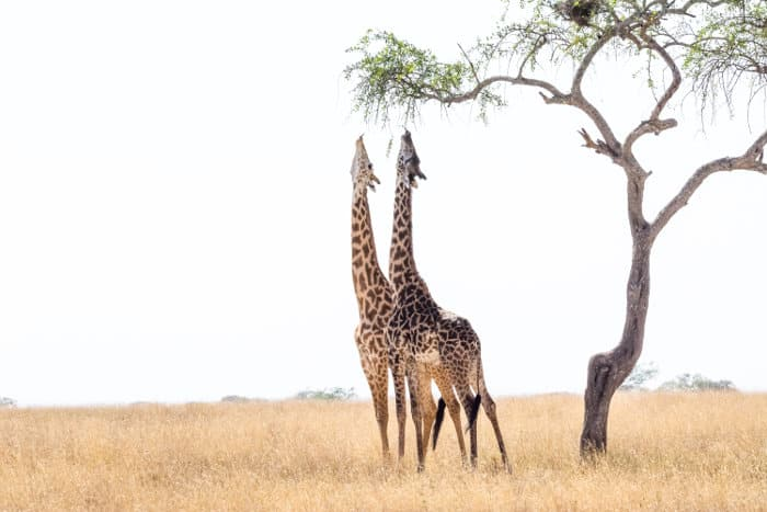 With an average height of 4-5 meters, giraffes can reach some of the highest leaves
