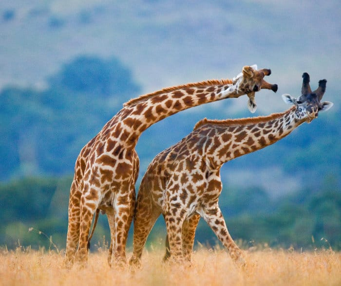 Adult male giraffes use their ossicones as formidable weapons to outlast rivals