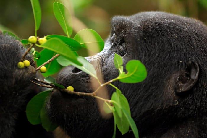 Mountain gorilla feeding on wild berries