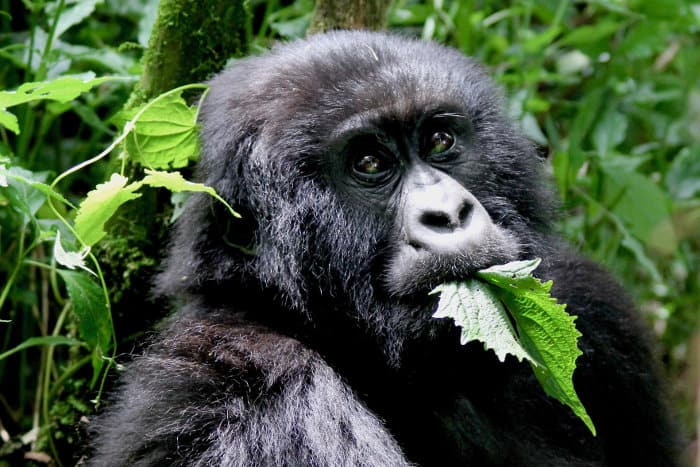 Young mountain gorilla eating leaves