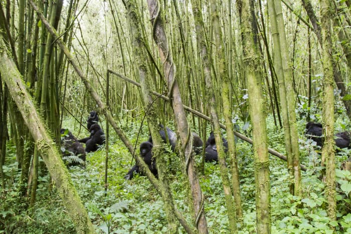 Group of mountain gorillas in a bamboo forest, Volcanoes National Park, Rwanda