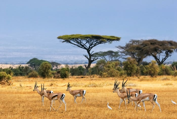 Grant's gazelle in Amboseli National Park
