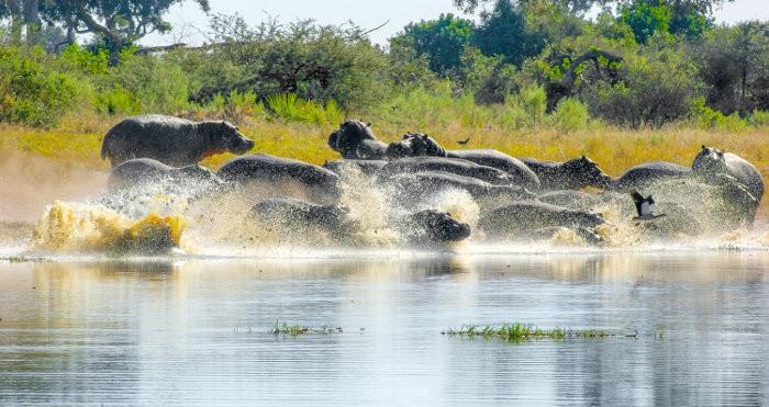 Hippo frenzy in Moremi
