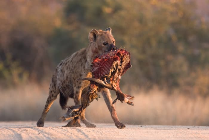 Spotted hyena with bushbuck carcass
