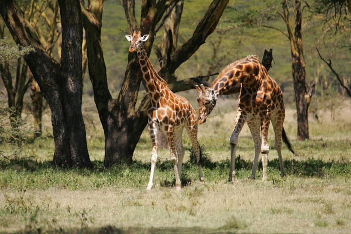 Male Rothschild's giraffe scenting a female to determine if she's ready to mate