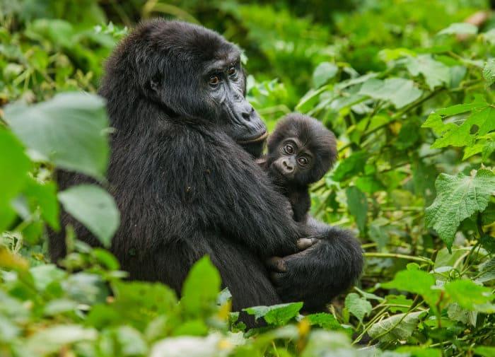 Female mountain gorilla holding her baby, in Bwindi