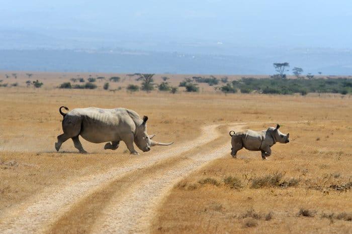 Mom white rhino and calf crossing the road, Kenya