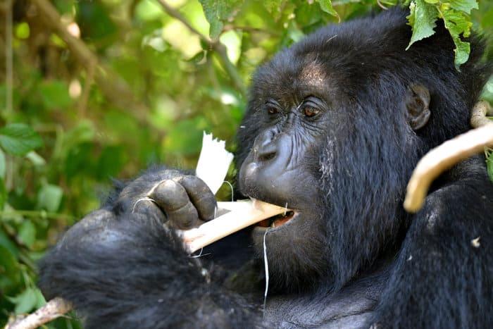 A member of the Amahoro mountain gorilla family eating bamboo