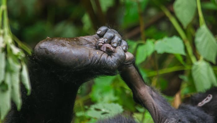 Mountain gorilla uses its foot to hold onto a baby's limb